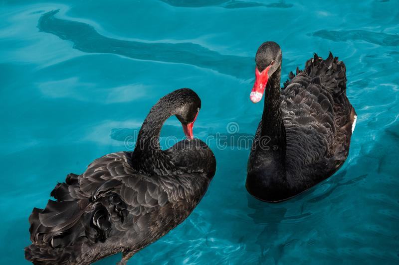 Couple of black swans in pond. Two birds with red beaks swim in blue water of lake. Love symbol or romantic relations stock images