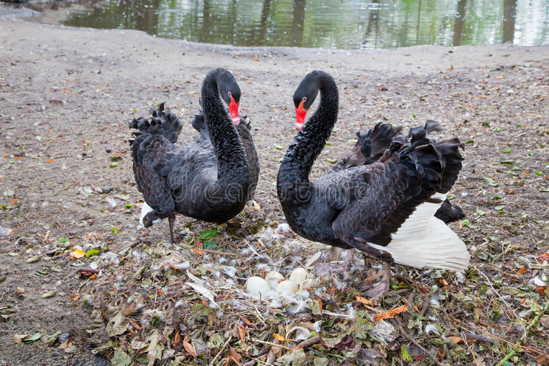 Couple black swans protecting eggs in nest royalty free stock image