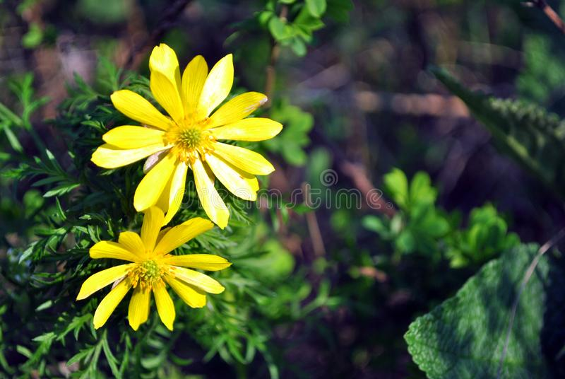 Couple blooming flowers of yellow Caltha buttercup with green leaves in the background, close up royalty free stock photography
