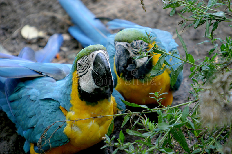 A couple of blue macaws. Are sitting on the ground stock images