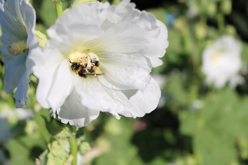 Two bumblebees in a white hollyhock. A couple of bumblebees pollinate a white hollyhock sunshine lighted royalty free stock photos