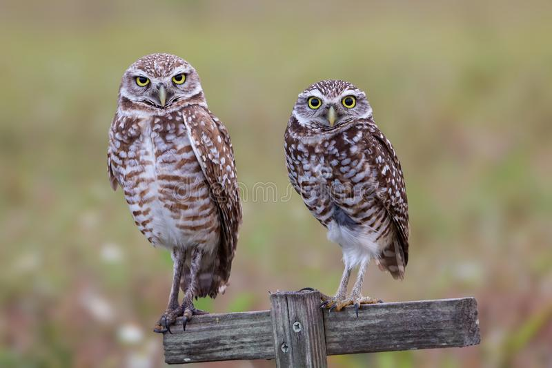 Couple of burrowing owls staring at camera, Florida. Bird, birds, prey, two, cute, hunter, closeup, brown, small, wild, animal, america, angry, animals, athene stock photo