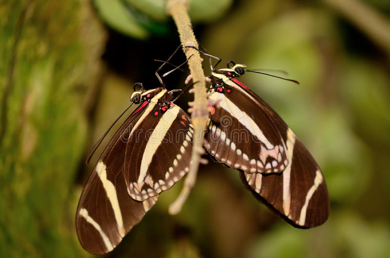 Couple of butterflies stock photography