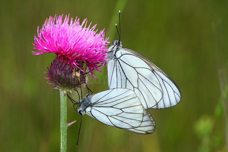 Download Couple butterfly stock image. Image of fauna, pieris - 10576989