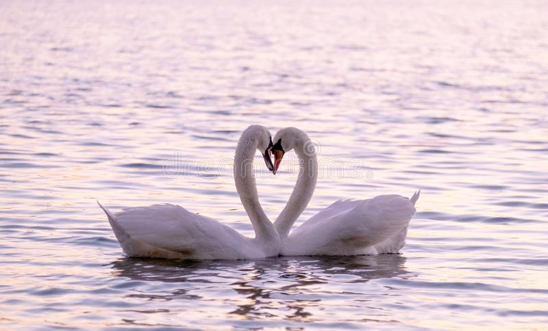 Couple of caressing white swans on the lake. On the sunset love bird animal heart relationship nature sunrise river water scenery closeup head neck tender stock images