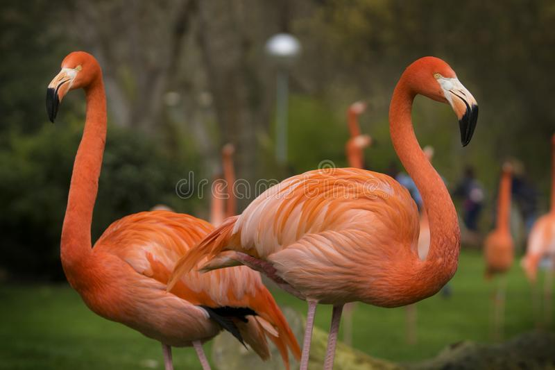 Couple of Caribbean flamingos on a cloudy day. This species is native to the Caribbean royalty free stock photos