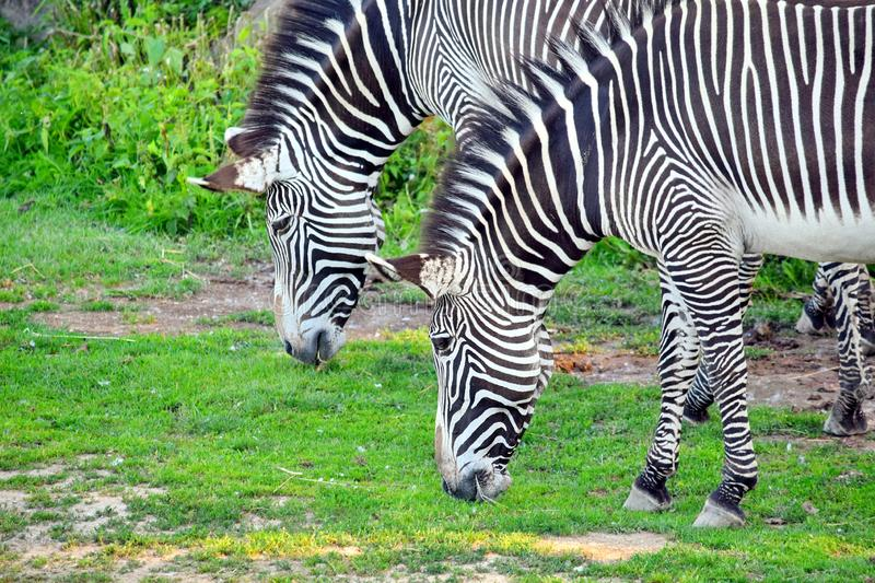 Couple of Chapman`s Zebra Eating Grass stock photos