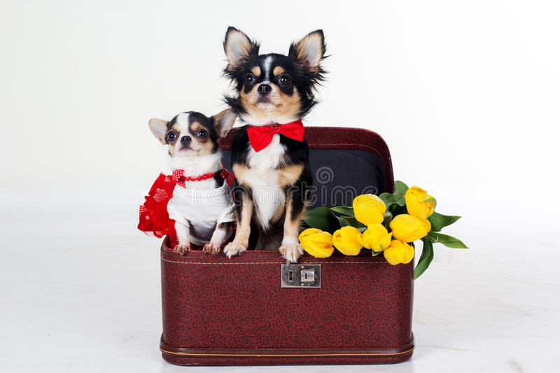 Best Chihuahua Canine Adorable Dog - couple-chihuahua-dogs-yellow-flowers-red-heart-two-sitting-box-bouquet-tulip-isolated-white-background-studio-67539480  Graphic_584852  .jpg