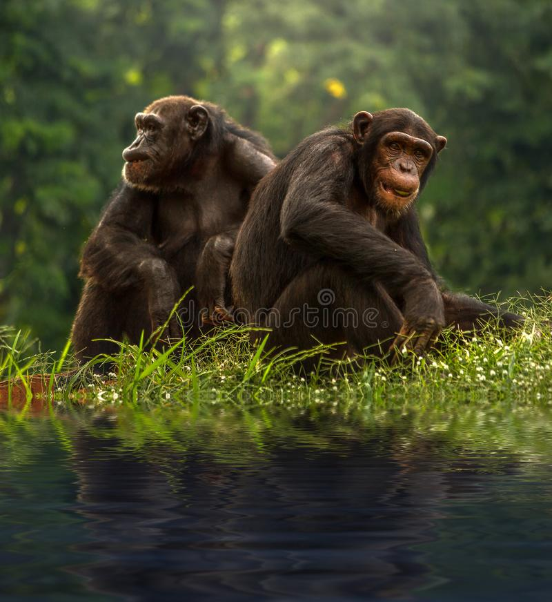 Couple chimpanzee sitting and relax. In the nature royalty free stock photography