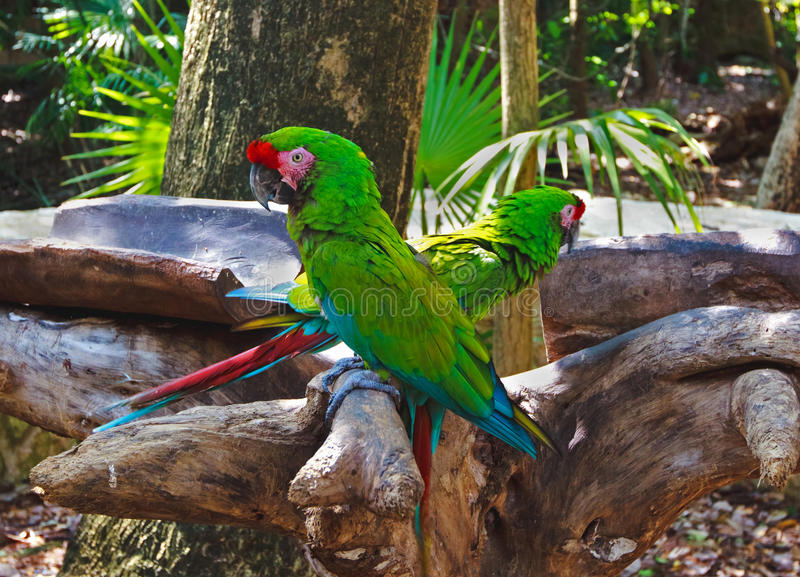 The couple of colorful parrots macaws in Xcaret park Mexico. The couple of colorful parrots macaws in Xcaret park near Canun in Mexico royalty free stock photography