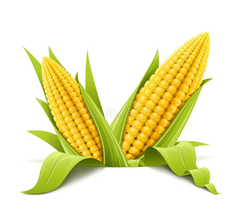 Couple corncob. Vector illustration color on white background stock illustration
