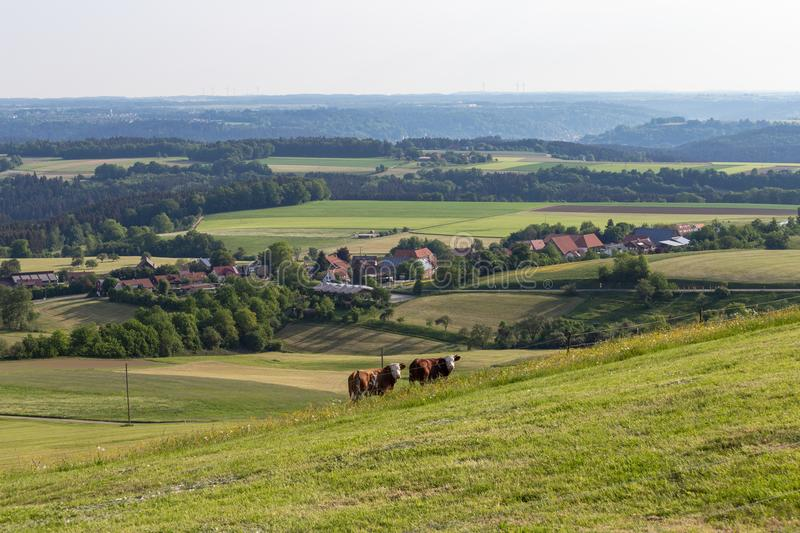 Couple cows in meadow landscape. In south germany highlands at springtime green grass royalty free stock photography