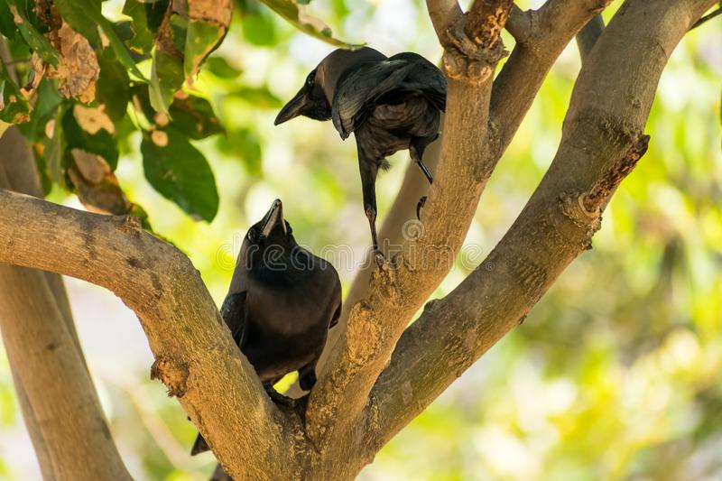 A couple of crow seating on tree branch & loving together in public park. stock photo