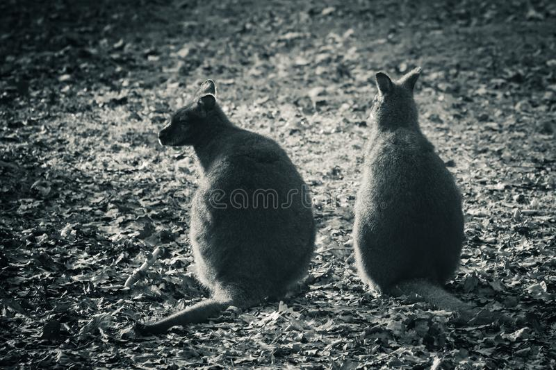 Couple of cute kangaroos interacting, communicating in black and white royalty free stock image