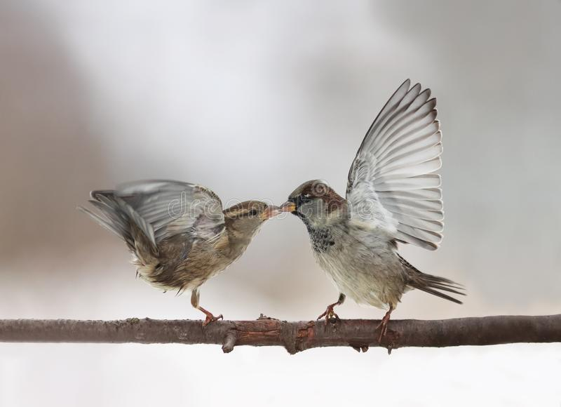 couple of cute little birds sparrows arguing on the branch flapping wings and beaks locked together royalty free stock images