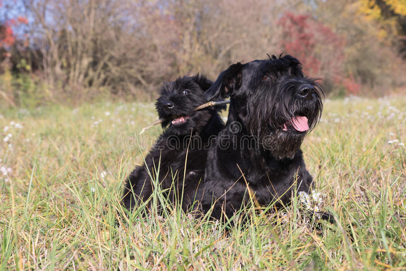 Couple of cute puppy and old dog of Giant Black Schnauzer royalty free stock images