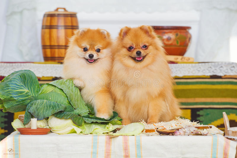 Couple of cute spitz puppies. Smiling spitz dogs and autumn harvest decoration stock images