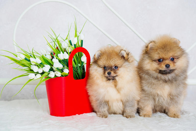 Simple Spitz Canine Adorable Dog - couple-cute-spitz-puppies-spring-flowers-39106984  Photograph_136140  .jpg
