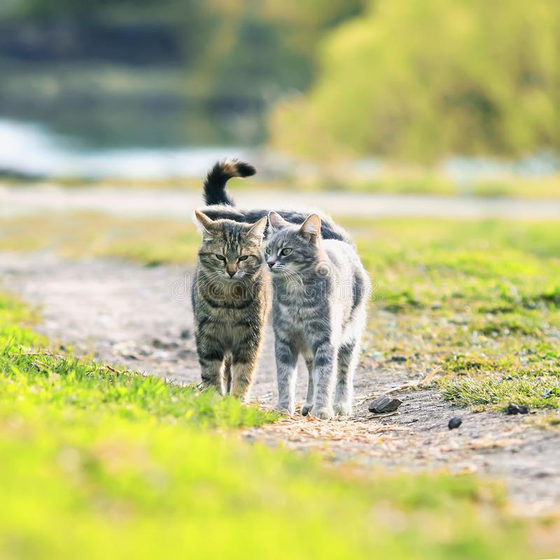 couple of cute striped cat friendly walk around in the juicy s royalty free stock photos