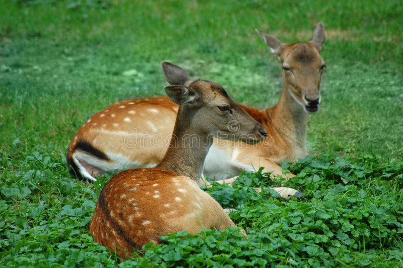 Couple of deer royalty free stock photography