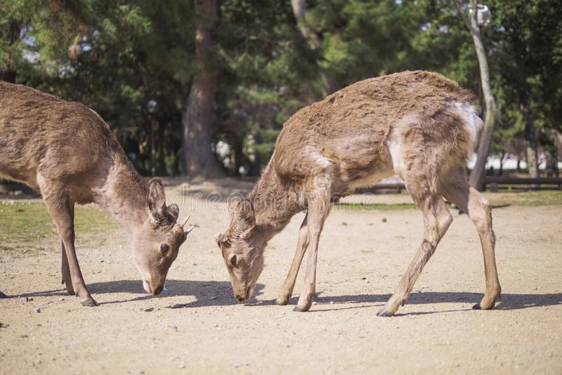 A couple of deer in Nara Park. Meet a pair of deer in Nara Park royalty free stock photo