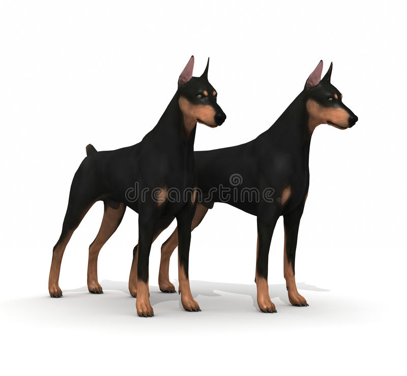 Couple Doberman Protection. Two dogs doberman pincher guardians vector illustration