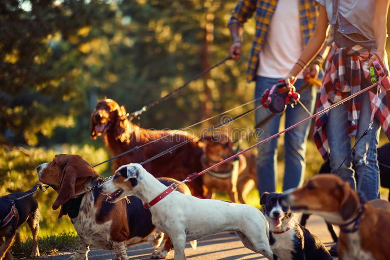 Couple dog walkers with dog enjoying in park. Couple dog walkers with group dog enjoying in park stock photo