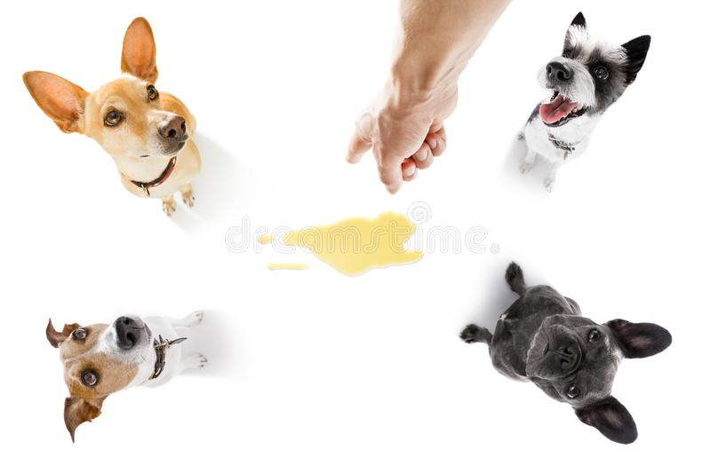 Couple of dogs pee urine at home. Couple of dogs being punished for urinate or pee at home by his owner, isolated on white background royalty free stock image