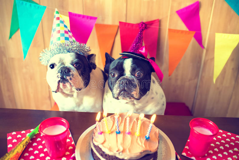 Couple of dogs on birthday party. Couple of French bulldogs on birthday party royalty free stock image