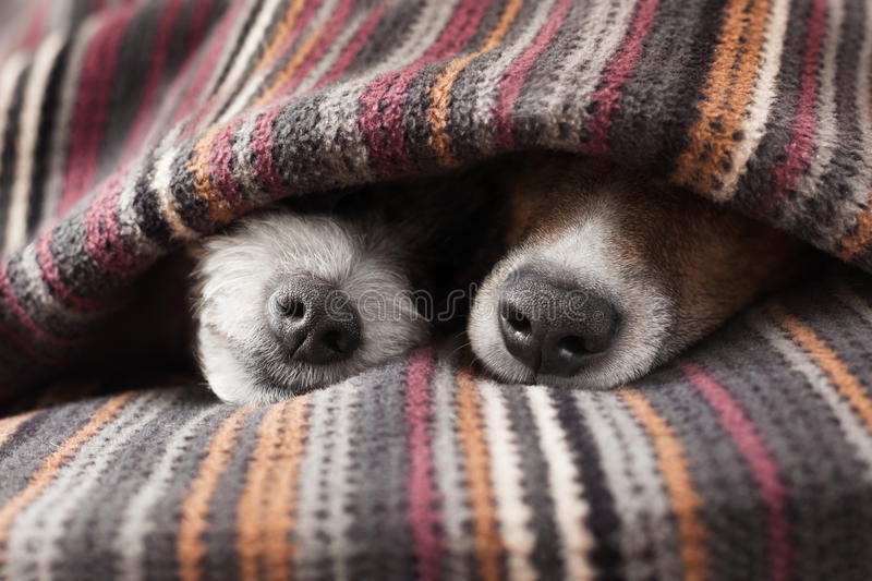 Couple of dogs. In love sleeping together under the blanket in bed