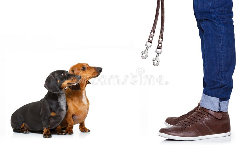 Couple of dogs and owner with leash royalty free stock photos