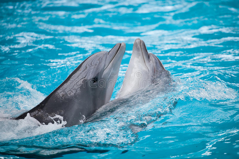 Couple dolphins royalty free stock photos