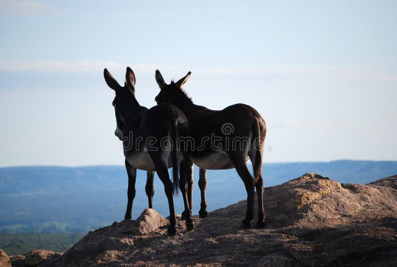 couple of donkeys in love in the mountains royalty free stock photo