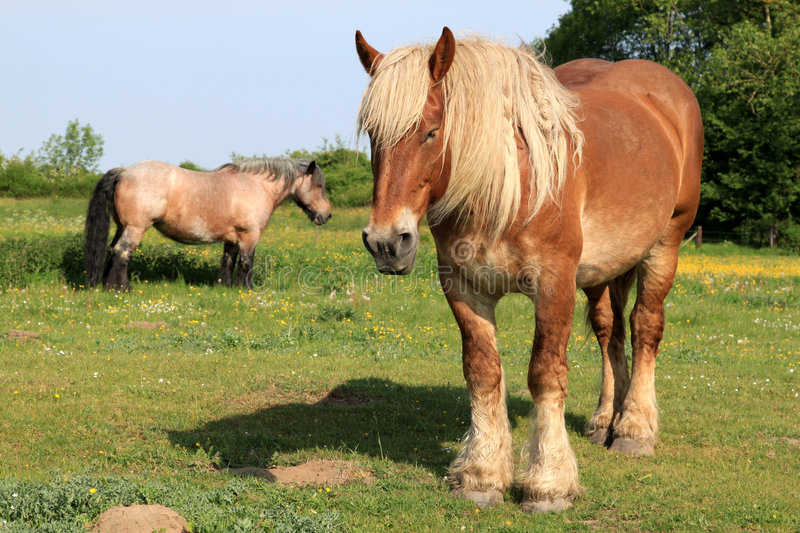 A couple of draft horses in a dutch meadow royalty free stock photography