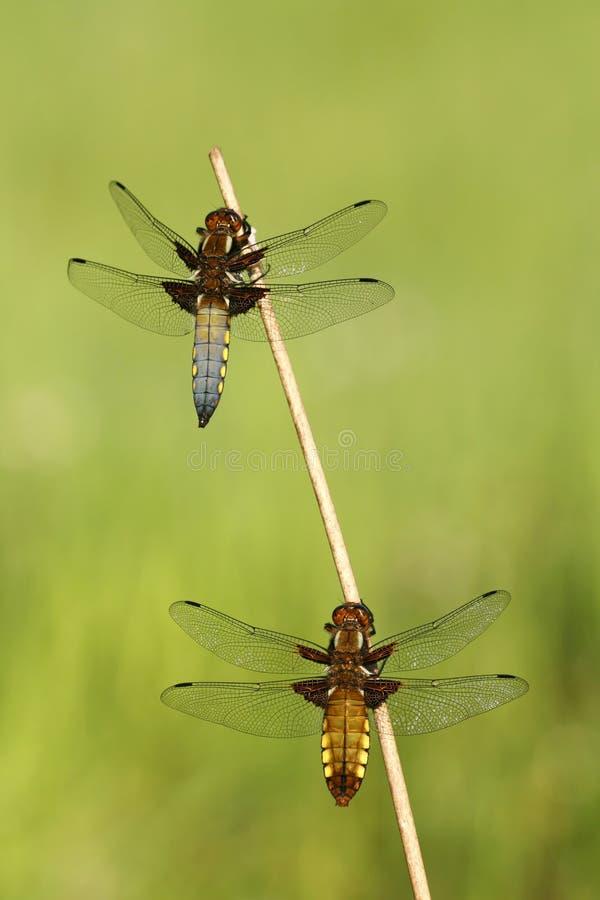 Couple of dragonflies stock photo