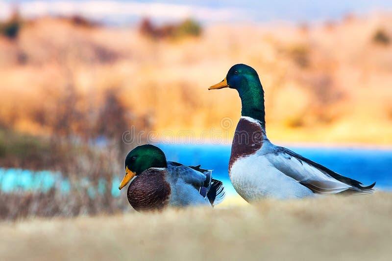 Couple duck at Tanuki lake, Fujinomiya, Shizuoka, Japan. Beautiful animal at Tanuki lake in winter season stock photography
