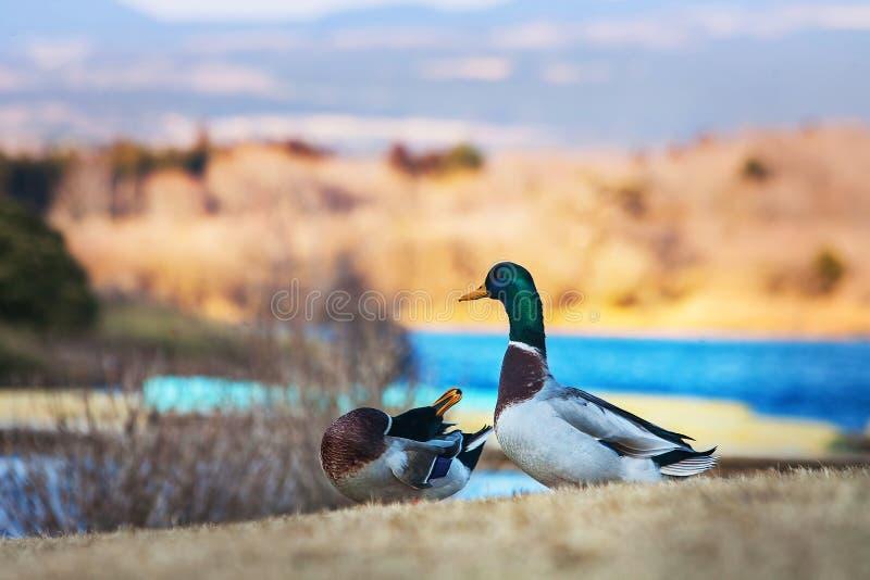 Couple duck at Tanuki lake, Fujinomiya, Shizuoka, Japan. Beautiful animal at Tanuki lake in winter season stock images