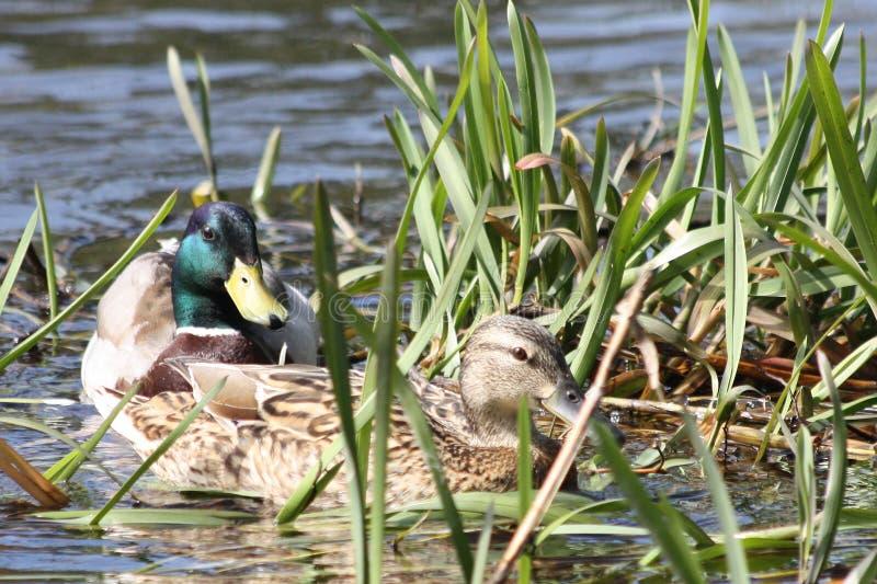 Couple ducks royalty free stock image