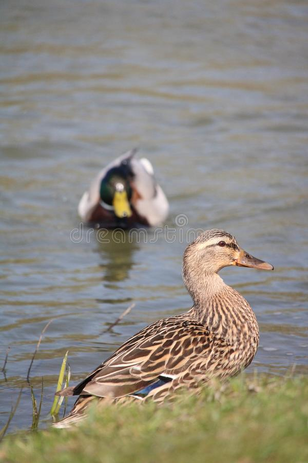 A couple of ducks close-up royalty free stock images