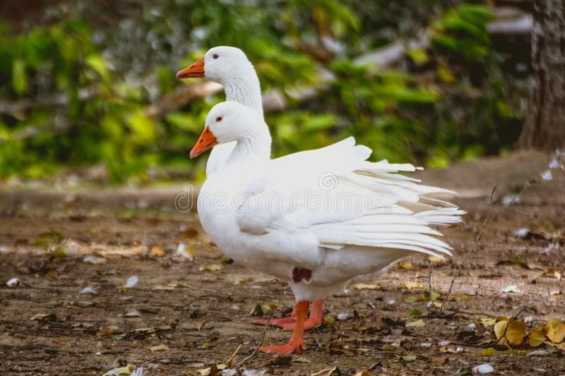Couple of ducks geese walking in the park royalty free stock image