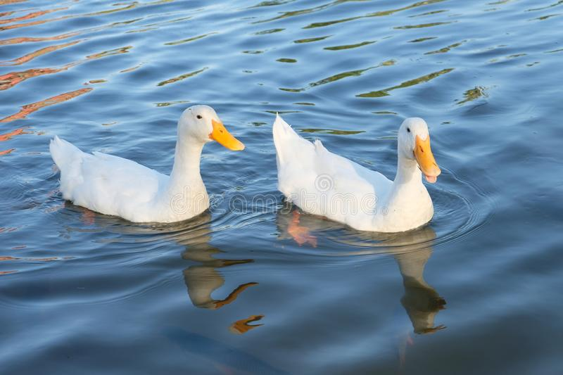 Couple of ducks royalty free stock images