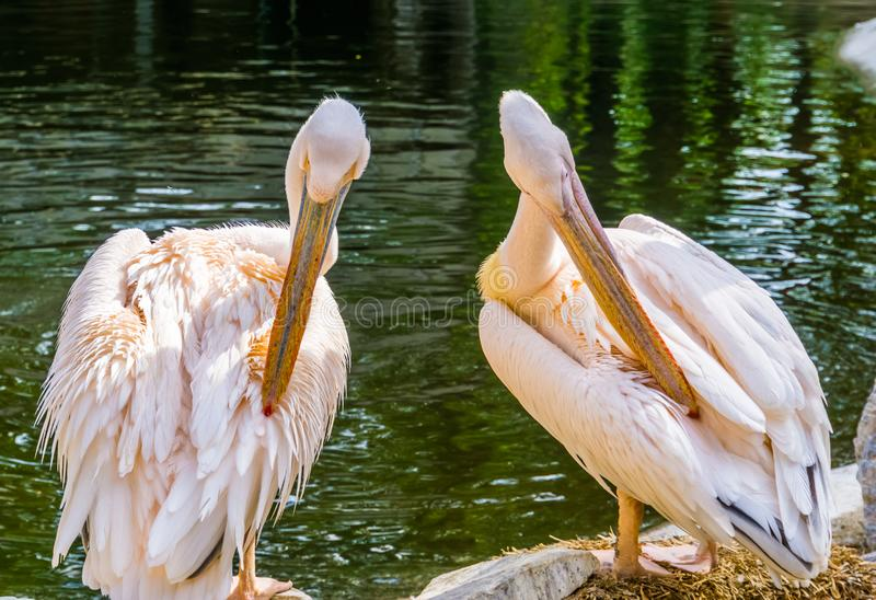 Couple of eastern great white pelicans preening their feathers at the water side, Tropical bird specie from Eurasia. A couple of eastern great white pelicans stock photography