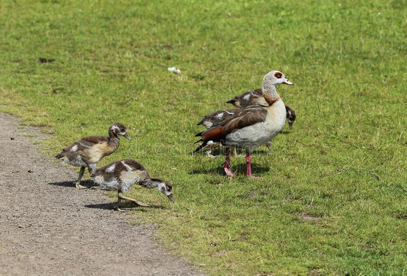 couple Egyptian goose (Alopochen aegyptiaca) with their young chicks eating grass stock images