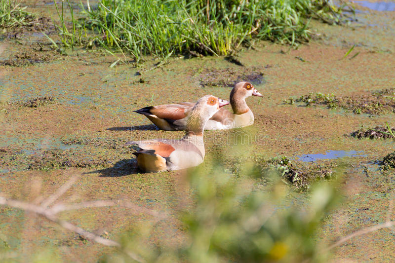 Couple of Egyptian Goose from Isimangaliso Wetland Park royalty free stock photography