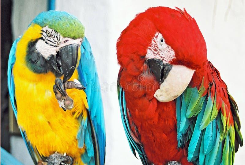 Download Couple... stock illustration. Illustration of parrot - 39514864