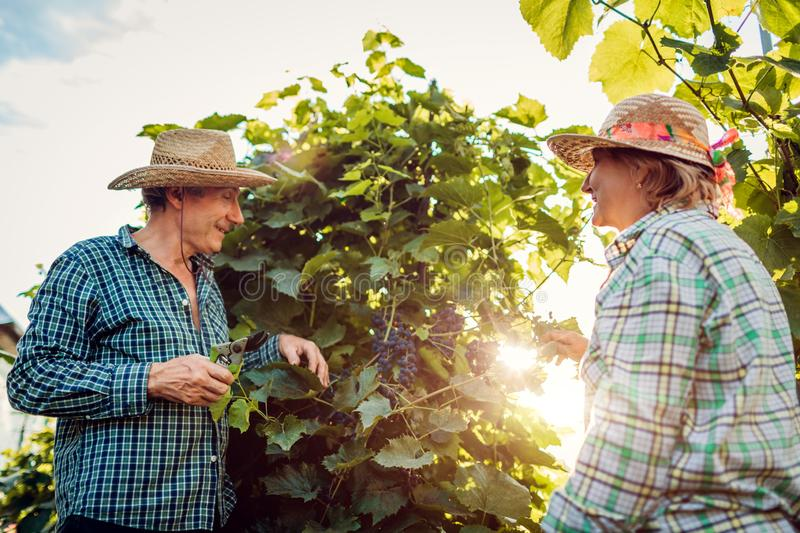 Couple of farmers checking crop of grapes on ecological farm. Happy senior man and woman gather harvest royalty free stock photography