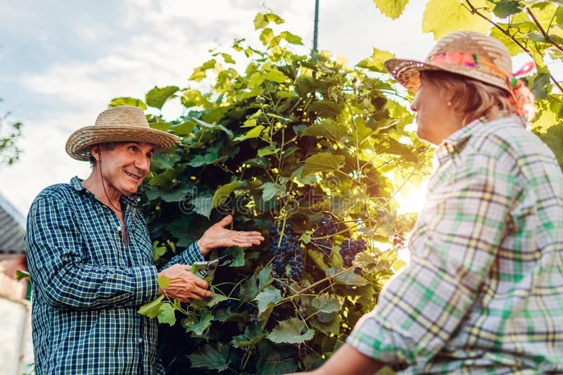 Couple of farmers checking crop of grapes on ecological farm. Happy senior man and woman gather harvest royalty free stock photos