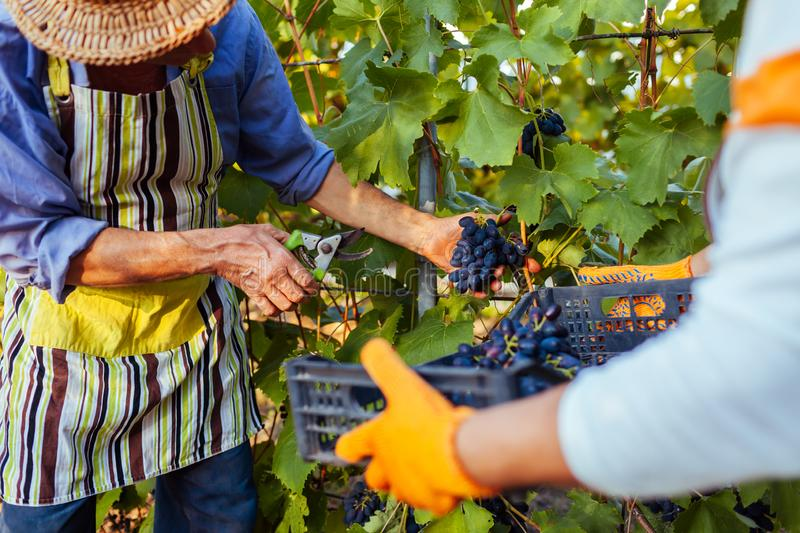 Couple of farmers gather crop of grapes on ecological farm. Happy senior man and woman putting grapes in box royalty free stock photography