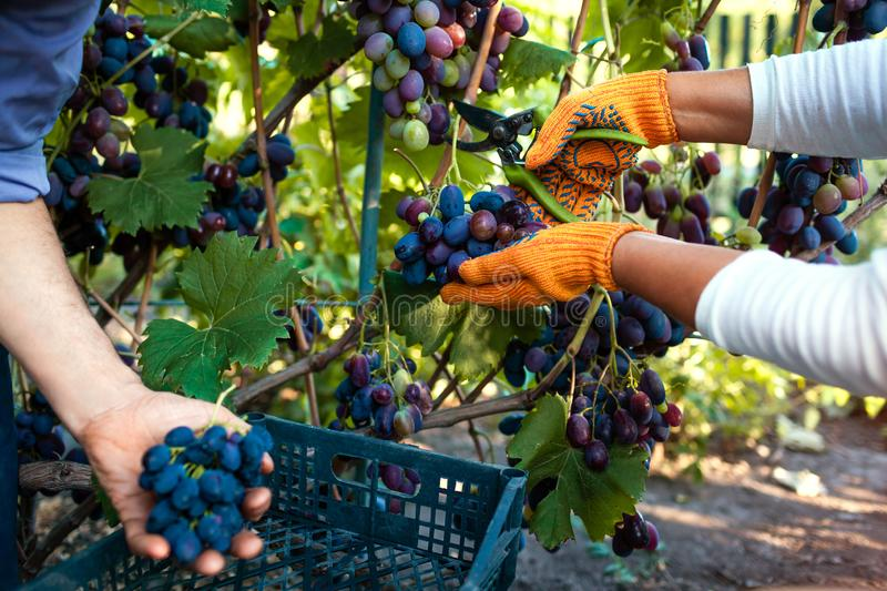 Couple of farmers gather crop of grapes on ecological farm. Happy senior man and woman putting grapes in box royalty free stock image