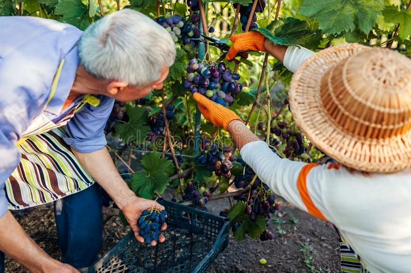 Couple of farmers picking crop of grapes on ecological farm. Happy senior man and woman putting grapes in box stock images